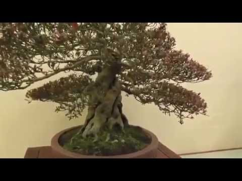 PRESENTATION    OF    SMALL     BONSAI     TREES