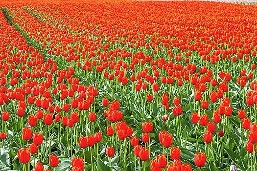 Art Calapatia - Orange Tulips 10