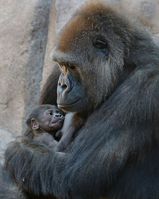 an introduction to the nature and the origins of gorillas Grooming one another (cleaning the hair of another gorilla) is a major occupation among gorillas in a band female gorillas groom their offspring, one another, and the silverback the silverback does not groom others.