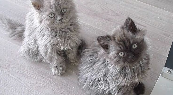 5 Things You Didn't Know About The Selkirk Rex