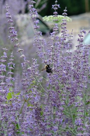 62 best pollinator frenzy images on pinterest for Low maintenance perennials zone 4