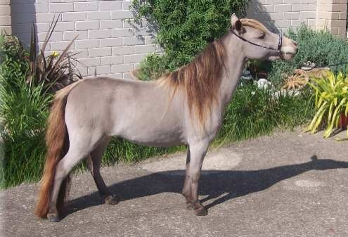 classic champagne Miniature Horse mare Kotta Park