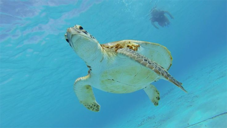 Snorkeling with the turtles in Curacao