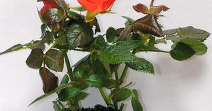 Pode-se cultivar rosas em vasos?. O cultivo de roseiras coloridas em vasos lhe dá mais opções para a decoração do seu jardim. Nas áreas onde os canteiros não estão satisfatórios, cultive rosas ou então mude a disposição das floreiras ao longo do verão para dar outro visual aos arranjos de seu jardim. Os vasos de rosas também podem ser dispostos acima do chão para permitir que você ...