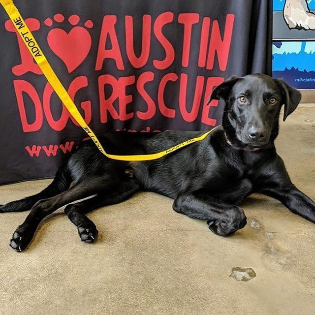Black Lab Mix Available For Adoption In The Austin Tx Area Super Model Bradley Is Ready To Brighten Your World This Sweet Lo Big Puppies Dogs Dog Adoption