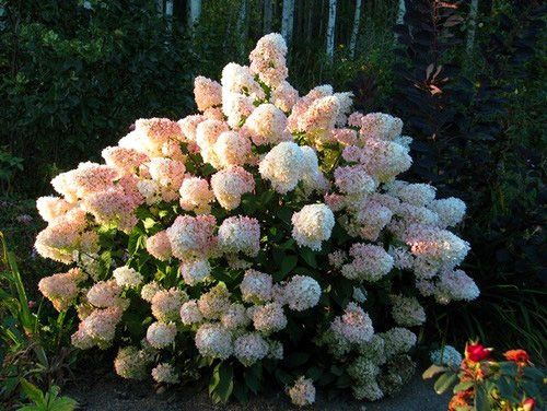 Pee Gee Hydrangea   Full sun to part shade ▪ (H) 3-10' (W) 3-10' ▪ Bloom: early summer-early fall ▪ Zone. 3-9. Large, conical blooms turn from white to pink in late summer.