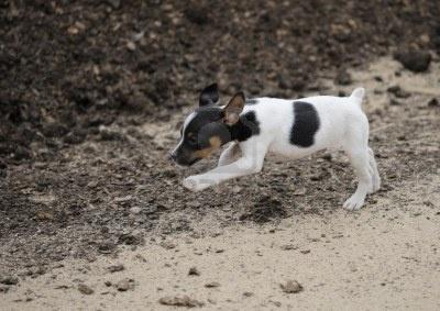 Perro Pequeño, Fox Terrier Fotos, Retratos, Imágenes Y Fotografía De Archivo Libres De Derecho. Image 17508032.