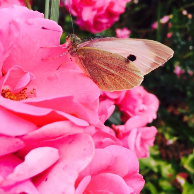 What luck to find this little one enjoying some pink roses