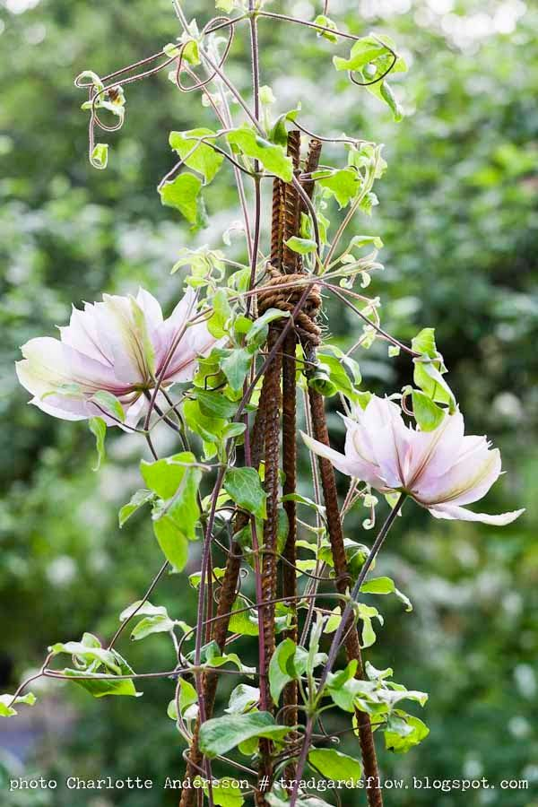 Clematis; don't know the variety. I've started using twig tepees this year with great success. /lh/ 2014
