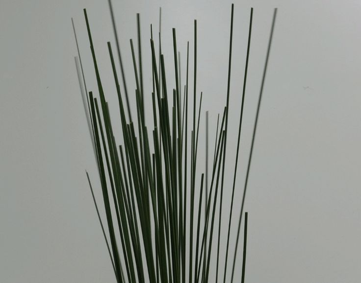 Spear Grass - Long stiff spears of grass that are great added to any arrangement and very long lasting.