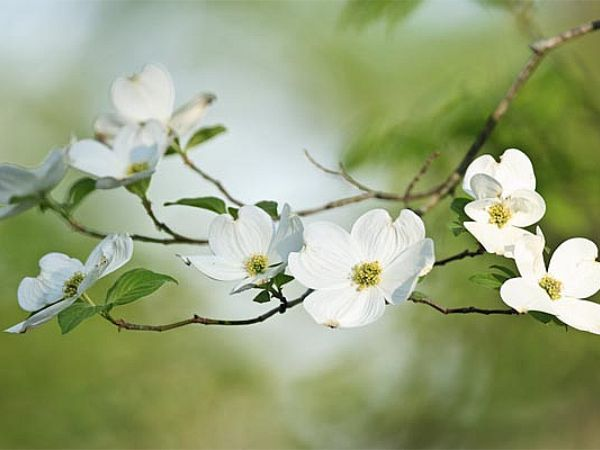 best  dogwood flowers ideas on   dogwood tattoo, pink, Natural flower