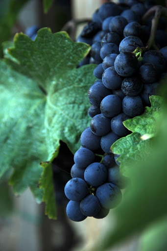 Grape by Marcella Toth - Red grape in Hungary, Szekszárd Click on the image to enlarge.