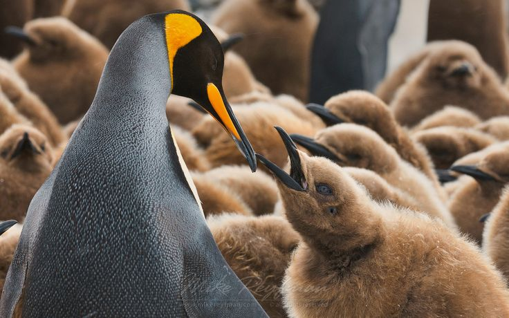 Adult King Penguin (Aptenodytes patagonicus) and chick. King Penguin Creche…