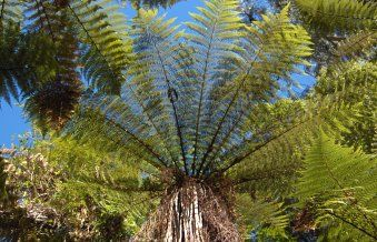 Dicksonia squarrosa    New Zealand wheki tree fern. The fastest-growing New Zealand tree fern, reaching 2-6m quite quickly. Short fronds to 1.5m long. Perhaps the most adaptable New Zealand tree fern, withstanding some wind if kept moist.