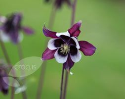 Aquilegia vulgaris 'William Guinness' - Plants - gardenersworld.com