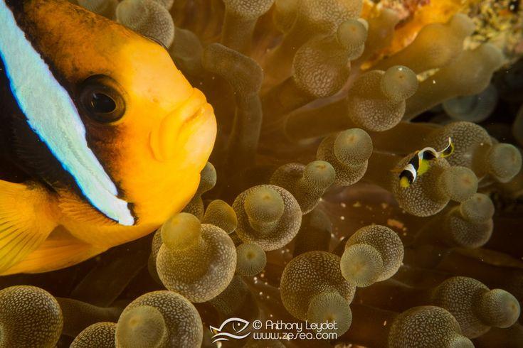 La vie d'un poisson clown est semée d'embûches ! Les affaires sérieuses commencent dès l'éclosion : un véritable parcourt du combattant...