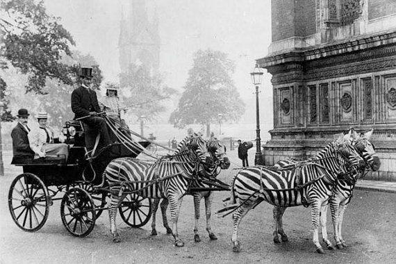 Zebras Pulling Carriage Striped Zebra Top Hat Strange Weird Vintage Scene Victorian Edwardian Sepia Black White Digital Download Photo File