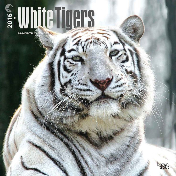 White Tigers Calendar 2016