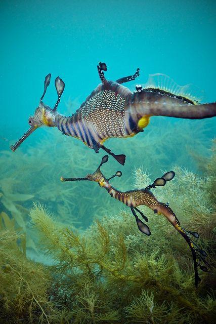 Weedy seadragons | by Matt Krumins on Flickr. monogamous delightful, delicate, gentle, endangered jewels of our seas!!!