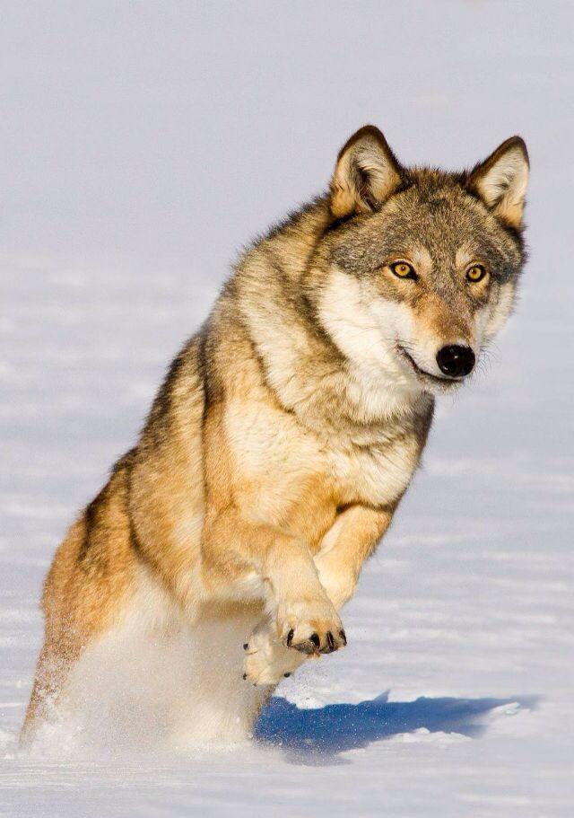 Картинки на телефон вертикальные животные волки