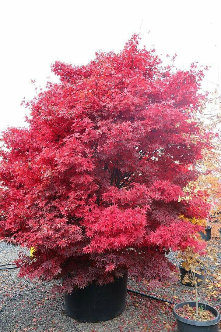 Twombly S Red Sentinel Japanese Maple Fall Colors In The