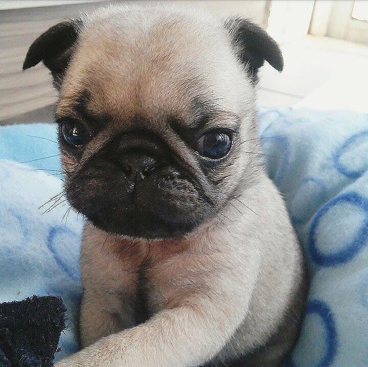 Pugs are my life❤️  #pugdaily #pugs #pug #cute #puglover