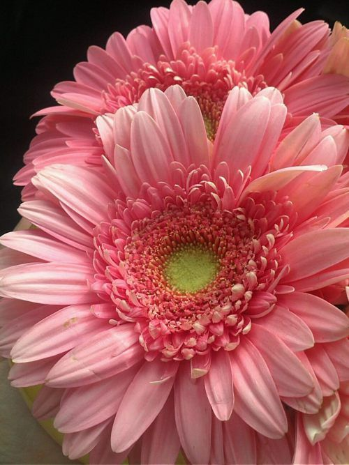 when I see this flower I see my dear mama... she was always so pretty in pink...