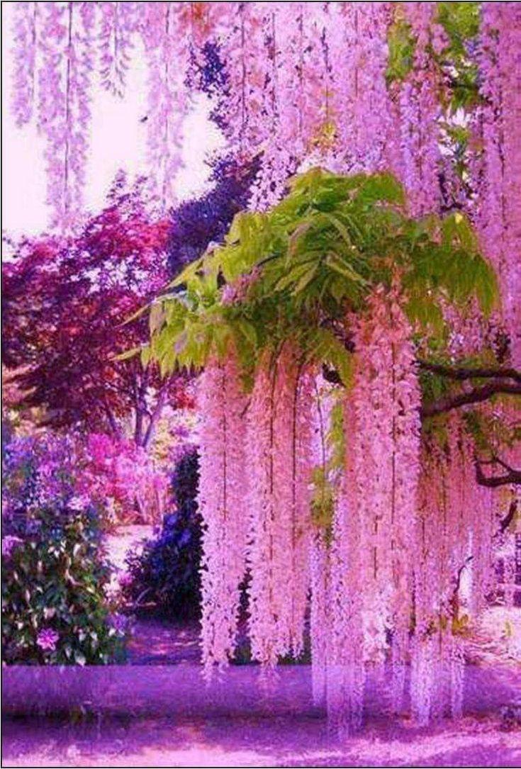 Pink Wisteria Trees Splendidi