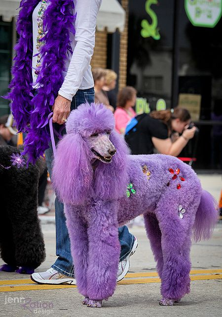 Purple poodle by JennRation Design, via Flickr...people do this to their pets???