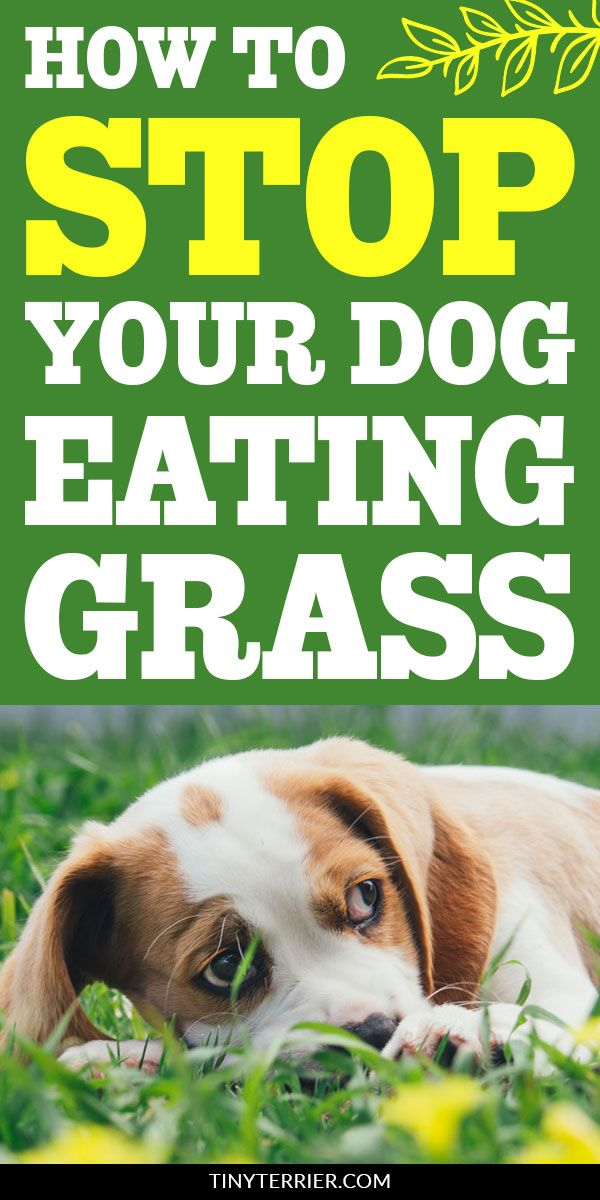 Why Does My Dog Eat Grass Is It Dangerous With Images Dogs Eating Grass Dog Eating