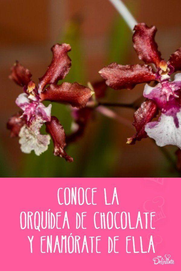 Conoce la Orquídea de Chocolate y enamórate de ella Belleza Natural, Chocolate, Christmas Ornaments, Holiday Decor, About Me, Compost, Orchards, Landscaping, Gardens
