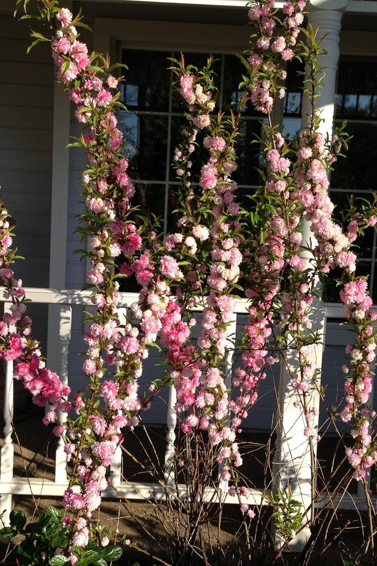 Flowering almond (Prunus glandulosa)