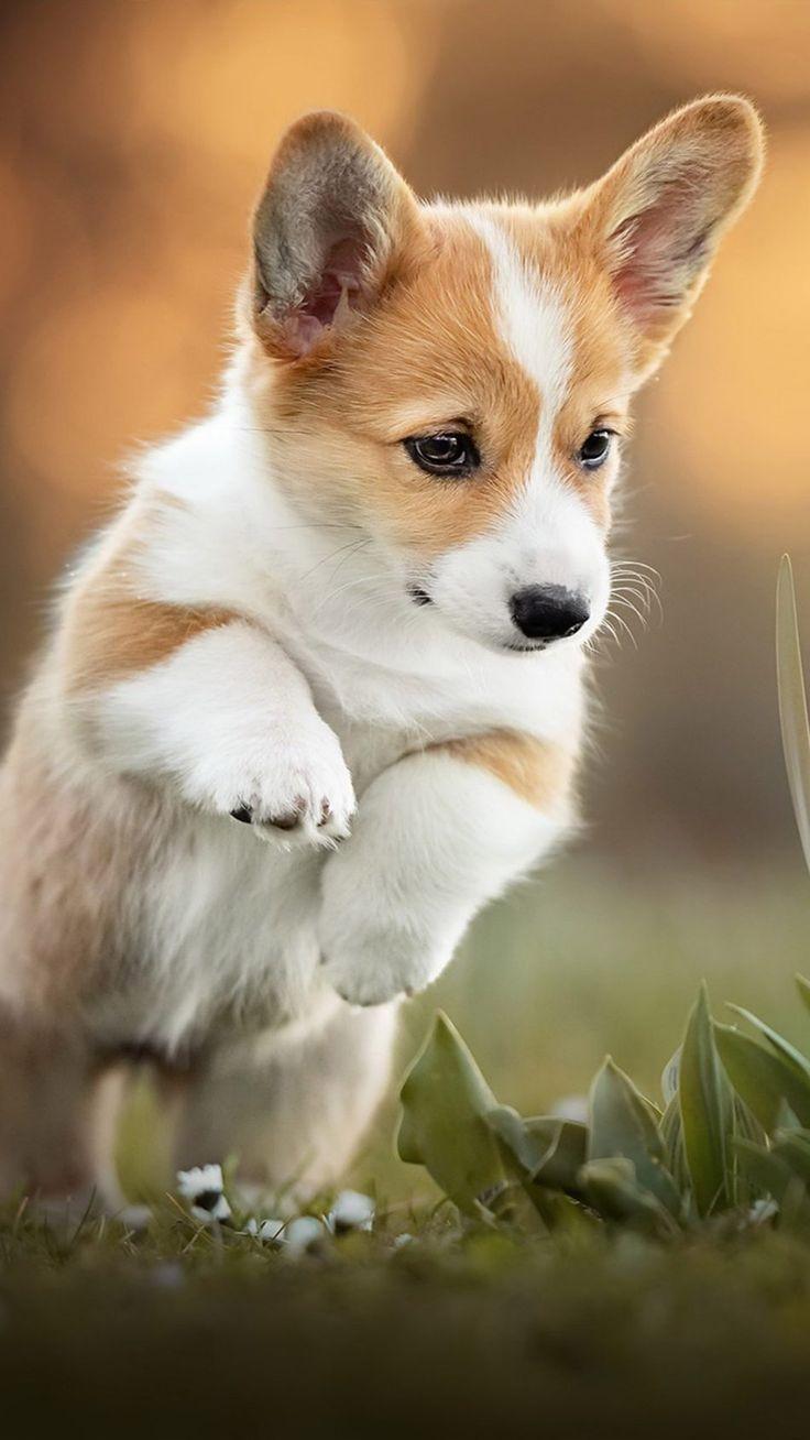 Corgi Puppy Pet Dog In 2020 Cute Puppy Wallpaper Corgi Puppy Cute Dog Wallpaper