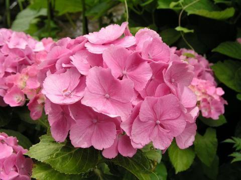 Bauern-Hortensie (Hydrangea macrophylla)