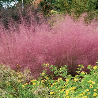 Muhly Grass never had it so good! This ultra-rugged, ultra-tough native grass is topped in late summer and fall by enormous plumes of cotton-candy pink, as airy as puffballs, as showy as the most elegant bloom!: Cotton Candy, Muhlenbergia Capillari, Late Summer, Pink Muh, Deer Tolerant Plants, Capillari Pink, Ornaments Grass, Grass Plants, Muh Grass