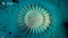 Beneath the waters that surround the Amamioshima Island in Japan, a tiny artist is gathering fine sand to create a patterned circle for an elaborate mating ritual. The white-spotted pufferfish builds the underwater 'crop circles' in order to attract a mate