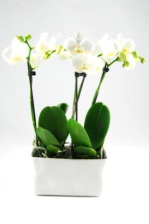 Orchidee Phalaenopsis Amabilis Wit in gedeukt 'Crushed'keramiek wit. Rechthoekig keramiek met 4 takken en minimaal 35 bloemen.