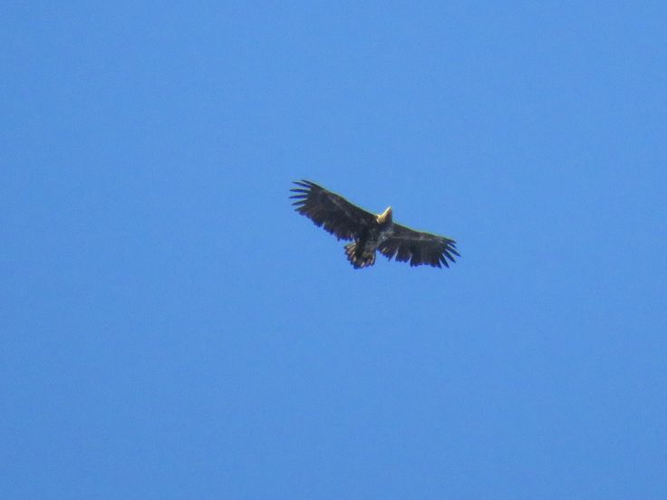 White-tailed eagle / Havørn / Haliaeetus albicilla. Slependen, Akershus, Norway. 1 May 2017. Thanks to my husband for spotting this high up above us :-)