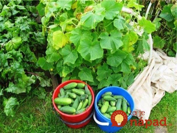 Uhorky už pomaly ale isto začínajú tešiť prvými plodmi. Poradíme vám ešte zopár skvelých tipov, ako z tohotoročnej úrody vyťažiť čo najviac. A to nie ej všetko, uhorky budú sladšie a nezhorknú!