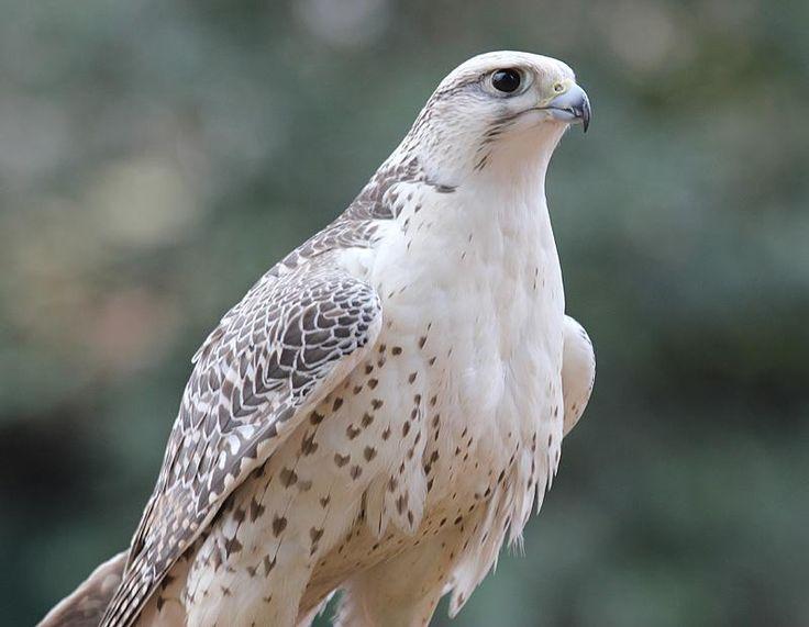 Gyrfalcon (Falco Rusticolus) | Exotic Birds of Paradise ...