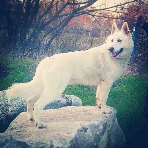Bellevue German Shepherds   X'pect The Unexpectd Omg this white german shepherd is stunning !! I am obsessed with this breeder and their beautiful puppies !!