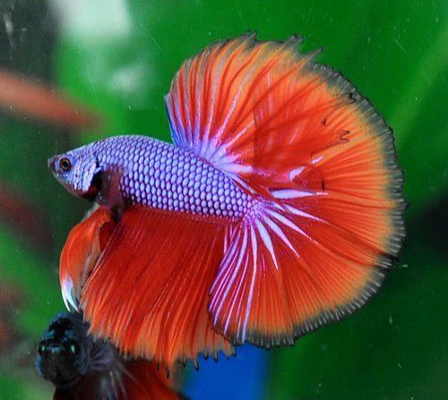 216 best beautiful betta 39 s images on pinterest fish for Beta fish water