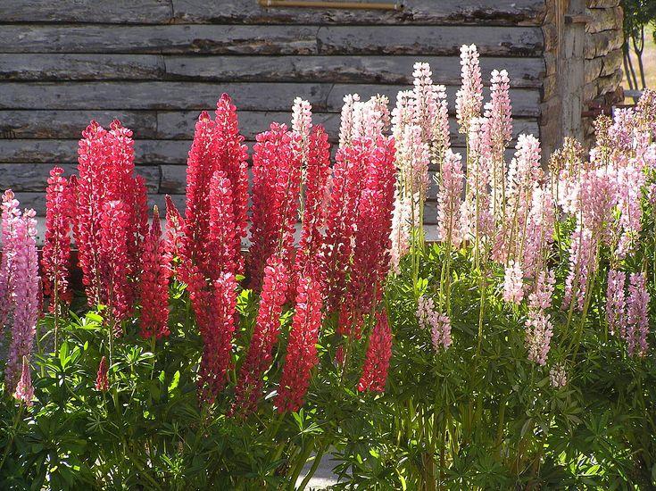 Flores de lupino (Ushuaia) - Lupinus - Wikipedia, the free encyclopedia