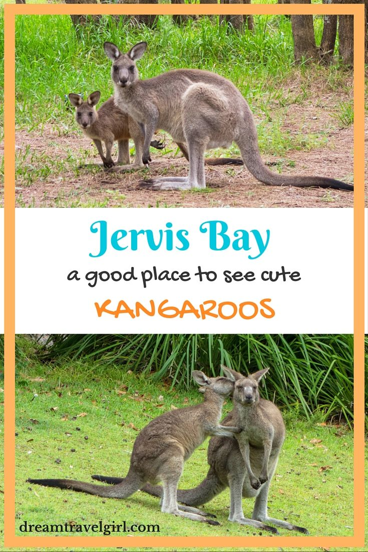 Jervis Bay, Australia, is a short 3h drive south of Sydney. There are beautiful beaches, a big national park and many kangaroos!