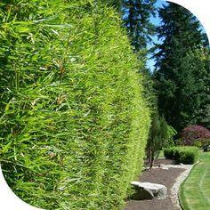 haie bambou fargesia robusta 2