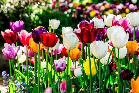 Hasil gambar untuk bunga tulip