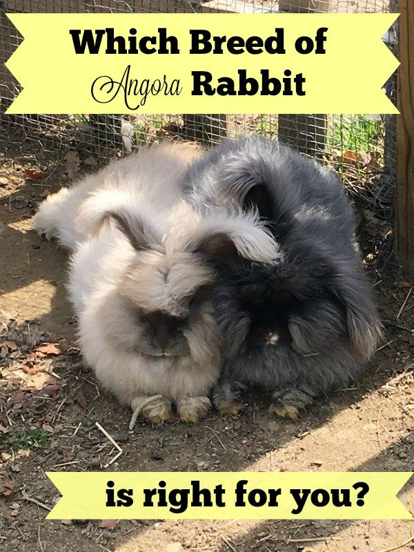 Which breed of Angora Rabbit is right for you? I'm leaning towards a French because of the easier grooming.