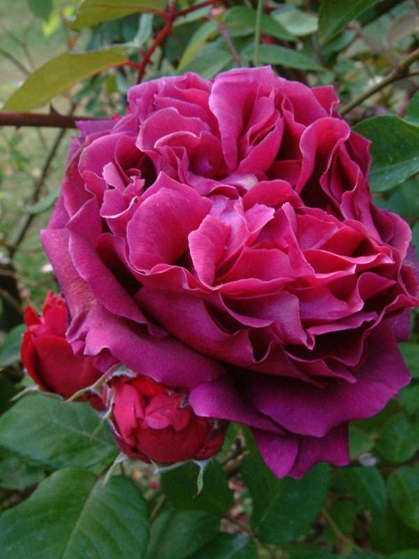 ~Rose ~ 'Duke of Edinburgh', 1868 U.K.   Hybrid Perpetual.  Vermillion scarlet shadings with violet red reverse with a moderate fragrance. Seedling of General Jacqueminot 1853.