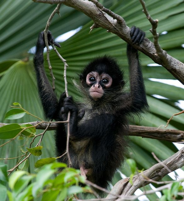 Baby Spider Monkey  Flickr - Photo Sharing!