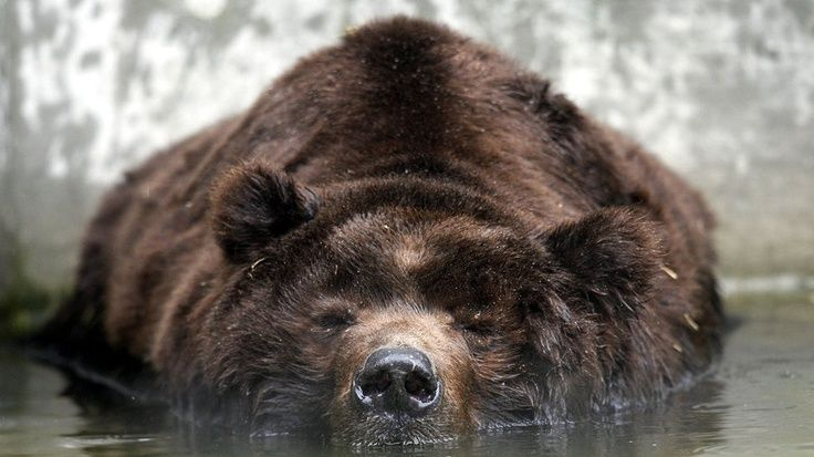 Not a good spot to fall asleep! #bears #napping #CanadianWildlife #adorable #sleepy